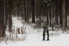 Il cane di corso della canna sta guardando in avanti nella foresta dell'inverno immagini stock libere da diritti