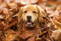 Il cane di golden retriever in un mucchio della caduta va Fotografia Stock Libera da Diritti