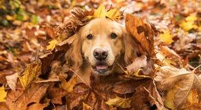 Il cane di golden retriever in un mucchio della caduta va Fotografie Stock Libere da Diritti
