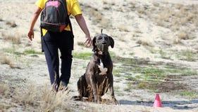 Il cane di great dane che si siede e che indossa una museruola e suo allontanarsi del proprietario Immagine Stock Libera da Diritti