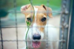 Il cane di Jack Russell nell'azienda agricola dell'animale domestico sul campo di erba verde, selettivo fotografia stock libera da diritti