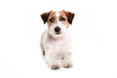 Il cane di Jack russell posando risiedere nella sorveglianza bianca dello studio è venuto Fotografia Stock Libera da Diritti