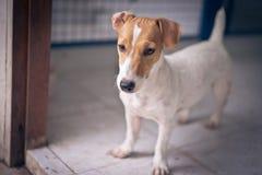 Il cane di Jack Russell stava stando ed essendo curioso immagine stock