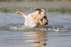 Il cane di labrador retriever scuote la testa in un lago Fotografia Stock Libera da Diritti