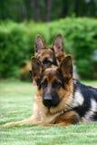 Il cane di pastore tedesco fotografia stock