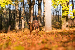 Il cane di Rhodesian Ridgeback sta correndo su Autumn Leaves Ground Immagine Stock Libera da Diritti
