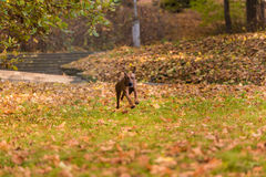 Il cane di Rhodesian Ridgeback sta correndo su Autumn Leaves Ground Immagini Stock