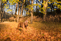Il cane di Rhodesian Ridgeback sta correndo su Autumn Leaves Ground Fotografia Stock
