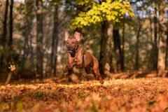 Il cane di Rhodesian Ridgeback sta correndo su Autumn Leaves Ground Fotografie Stock Libere da Diritti