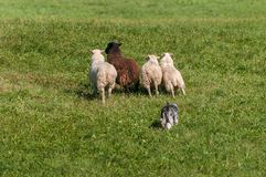 Il cane di riserva muove il gruppo di ovis aries delle pecore Fotografie Stock Libere da Diritti