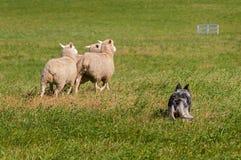 Il cane di riserva raduna le pecore via (ovis aries) Fotografia Stock
