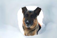 Il cane di salvataggio della valanga trova un superstite fotografie stock libere da diritti