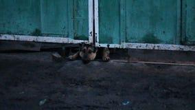 Il cane di scortecciamento ha strisciato sotto il recinto stock footage
