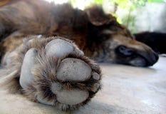 Il cane di sonno, non disturba Fotografia Stock