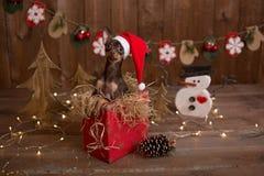 Il cane di Terrier russo si siede in una scatola con i regali Natale di festa Immagini Stock Libere da Diritti