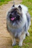 Il cane di Wolfsspitz sorride sull'erba verde fotografie stock