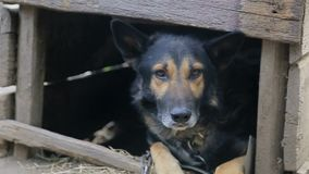Il cane diabolico, il cane sembra aggressivo, video d archivio