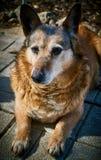 Il cane domestico è un ibrido Fotografia Stock