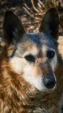 Il cane domestico è un ibrido Immagini Stock