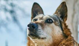 Il cane domestico è un ibrido Fotografia Stock Libera da Diritti