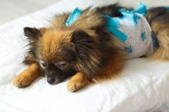 Il cane dopo le bugie della chirurgia su un cuscino molle con il cane sveglia dopo l'anestesia Cane in clinica veterinaria fotografia stock