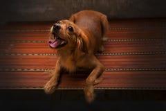 Il cane dorato sta giocando alla luce dorata Il golden retriever è cane adorabile Il cane leale è migliore amico Il nero come mus immagini stock libere da diritti