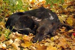 Il cane dorme sui fogli gialli Immagini Stock