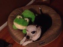 Il cane e la rana dividono un letto canino Immagini Stock
