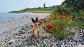 Il cane ed i fiori del papavero Fotografia Stock