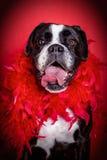 Il cane felice è pronto a fare festa Fotografie Stock Libere da Diritti