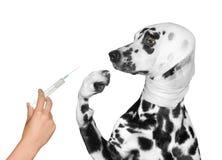 Il cane ferito malato è impaurito dell'iniezione fotografia stock libera da diritti