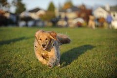 Il cane funziona velocemente verso la macchina fotografica Immagini Stock Libere da Diritti