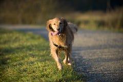 Il cane funziona verso la macchina fotografica con la linguetta che appende fuori Fotografia Stock
