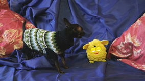 Il cane giocattolo-Terrier scorteccia e gioca con un giocattolo giallo su un sofà blu video d archivio