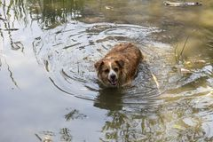 Il cane gode dell'acqua fresca del lago un giorno di estate caldo immagine stock libera da diritti