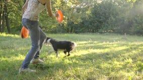 Il cane grazioso border collie mostra un trucco, andante in giro nei cerchi dietro il frisbee che tiene l'operatore della ragazza archivi video
