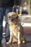 Il cane guida sta aiutando un uomo cieco Immagini Stock Libere da Diritti