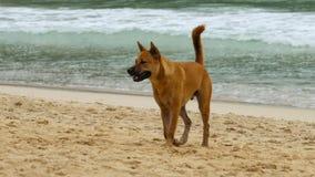 Il cane ha camminato sulla spiaggia video d archivio