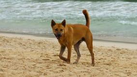 Il cane ha camminato sulla spiaggia stock footage