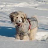 Il cane ha sepolto un naso durante la neve Cane crestato cinese nei wi Fotografia Stock