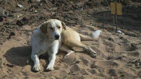 Il cane ha un resto che si trova sulla sabbia video d archivio