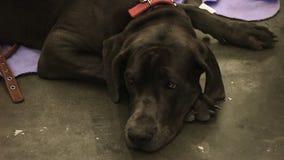 Il cane infelice con gli occhi tristi desidera il calore della gente e l'amore, abuso animale stock footage