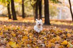 Il cane maltese felice sta correndo su Autumn Leaves Ground Fotografia Stock Libera da Diritti
