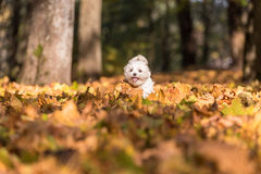 Il cane maltese felice sta correndo su Autumn Leaves Ground Fotografie Stock