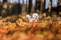 Il cane maltese felice sta correndo su Autumn Leaves Ground Apra la m. Immagini Stock