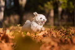 Il cane maltese felice sta correndo su Autumn Leaves Ground Apra la m. Immagine Stock