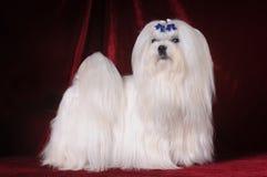 Il cane maltese si leva in piedi sulla priorità bassa rossa del velluto fotografie stock