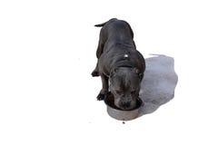 Il cane mangia da una ciotola su un fondo bianco Fotografia Stock Libera da Diritti