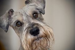 il cane marrone eyes lo schnauzer miniatura Fotografia Stock