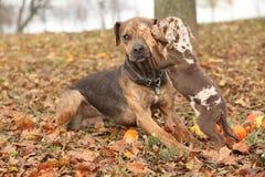 Cane della Luisiana Catahoula spaventato del parenting Immagine Stock